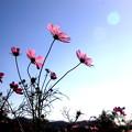 笠岡ベイファームの秋桜 08