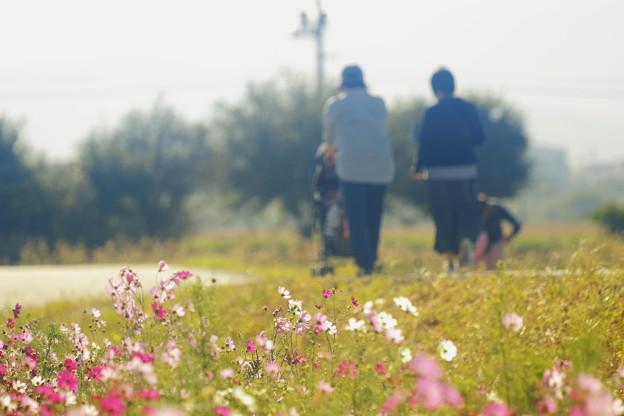 笠岡ベイファームの秋桜 07