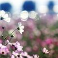 笠岡ベイファームの秋桜 06