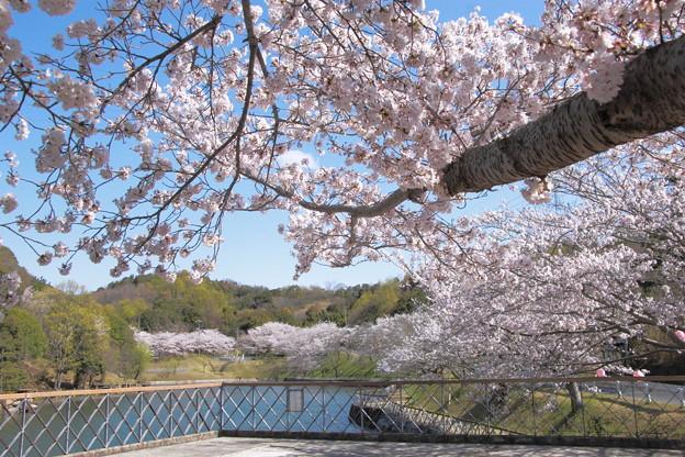浅口市丸山公園の桜風景09