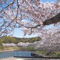 Photos: 浅口市丸山公園の桜風景09