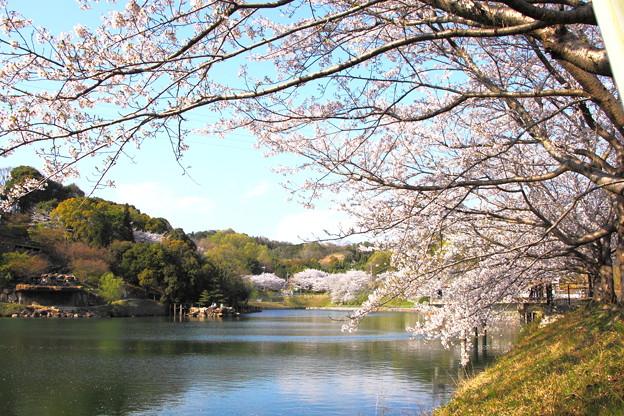 浅口市丸山公園の桜風景08