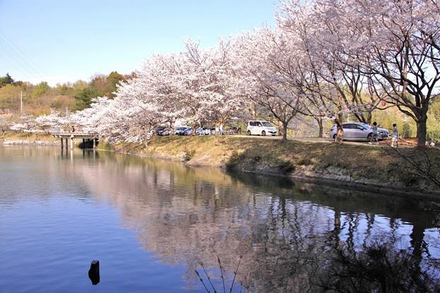 浅口市丸山公園の桜風景07