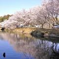 Photos: 浅口市丸山公園の桜風景07