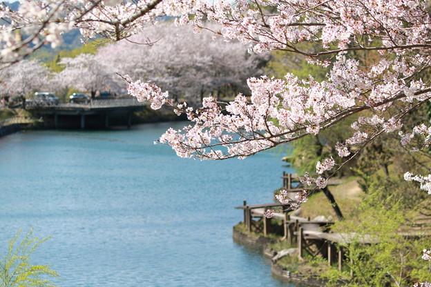 浅口市丸山公園の桜風景06