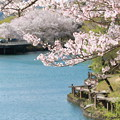 Photos: 浅口市丸山公園の桜風景06
