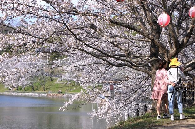 浅口市丸山公園の桜風景05