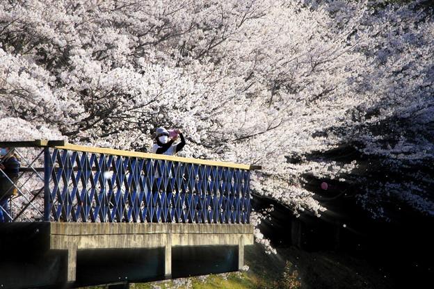 浅口市丸山公園の桜風景04