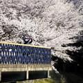 Photos: 浅口市丸山公園の桜風景04