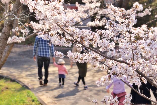 浅口市丸山公園の桜風景03