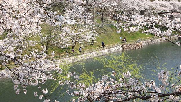 浅口市丸山公園の桜風景02