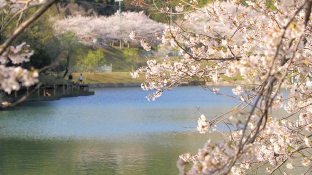 浅口市丸山公園の桜風景01