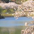 Photos: 浅口市丸山公園の桜風景01