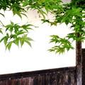 写真: 青紅葉