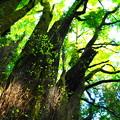 Photos: 樹齢1000年の息づかい その2
