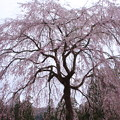 Photos: 枝垂れ桜の里 IMG_0025