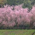 Photos: 五泉森林公園 IMG_0049