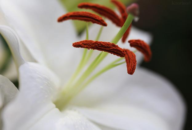 カサブランカの香