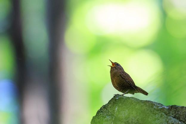 写真: 森の歌声