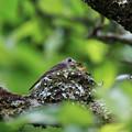写真: コサメビタキ営巣