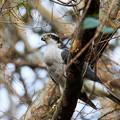 枝留まりのオオタカ