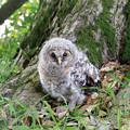 写真: フクロウの赤ちゃん 2