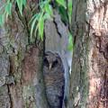 写真: フクロウの赤ちゃん 1