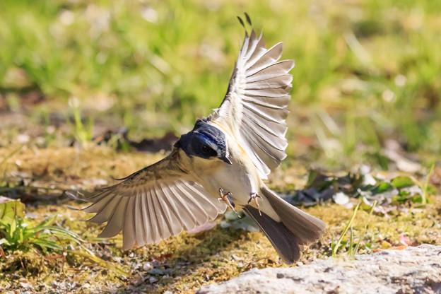 ルリビタキの飛翔 2