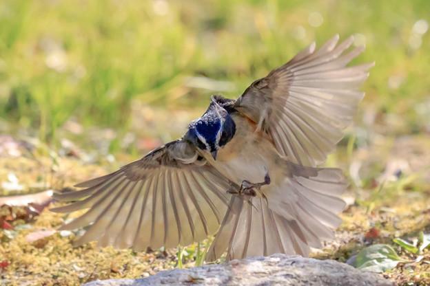 ルリビタキの飛翔 1