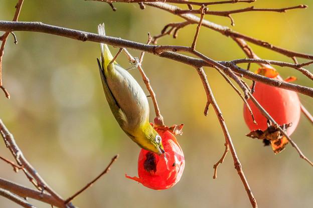 メジロと柿の実