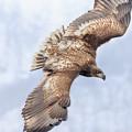 Photos: オジロワシの若鳥