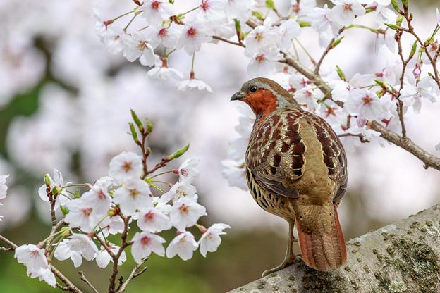 桜とコジュケイ 4