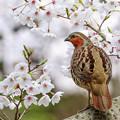 Photos: 桜とコジュケイ 4