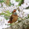 Photos: 桜とコジュケイ 5
