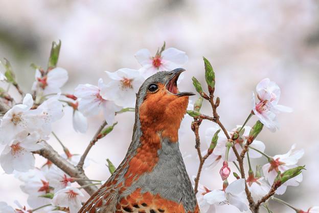 桜とコジュケイ 6