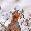 Photos: 桜とコジュケイ 6