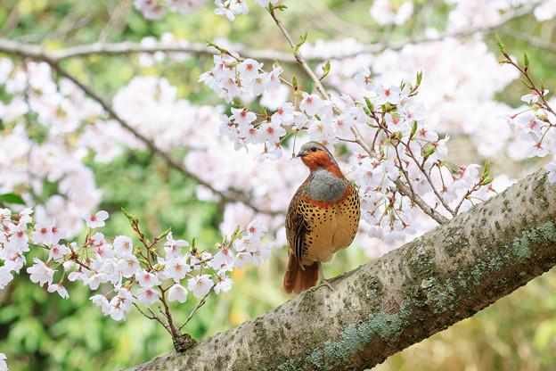 桜とコジュケイ 7
