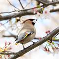 Photos: 桜とキレンジャク 1