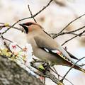 Photos: 桜とキレンジャク 2