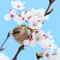 Photos: 桜とニュウナイスズメ ♀1