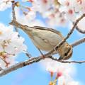Photos: 桜とニュウナイスズメ ♀2