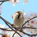 Photos: 桜とニュウナイスズメ ♂1