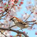 Photos: 桜とニュウナイスズメ ♂2