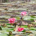 Photos: スイレン池のカルガモちゃん 2