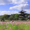 Photos: 法起寺とコスモス