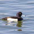 水辺の野鳥 2