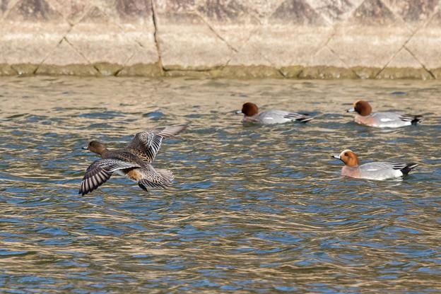 水辺の野鳥 3