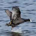 水辺の野鳥 9(流し鳥)