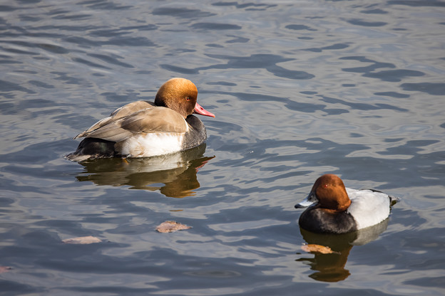 水辺の野鳥 13(珍鳥)