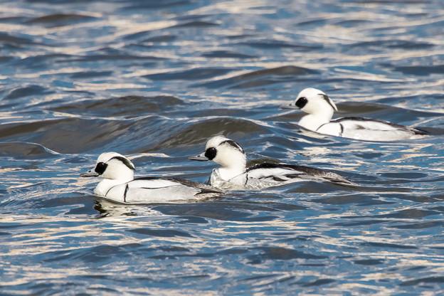 水辺の野鳥 16